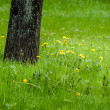 Yellow dandelions in spring — Stock Photo