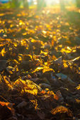 Autumn leaves in sunlight — Stockfoto