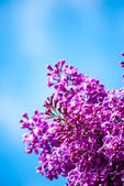 Blue lilac in green leaves — Stock Photo