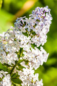 Close up view of white lilac flower — Stock Photo