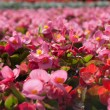 Tuberous begonias (Begonia x tuberhybrida) — Stock Photo