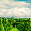 Conical hedges lines and lawn — Stock Photo #38877703