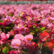 Tuberous begonias (Begonia x tuberhybrida) — Stock Photo #38877771