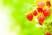 Ripe wild strawberry close-up — Stock Photo