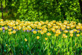 Yellow tulips sunlight at spring — Stock Photo