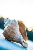 Seashell on concrete — Stock Photo
