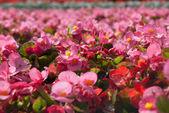 Tuberous begonias (Begonia x tuberhybrida) — Stock Photo