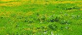 Yellow dandelions in spring — Photo