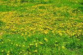 Yellow dandelions in spring — Stock Photo