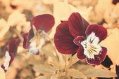 Violeta tricolor — Fotografia Stock