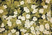 白い野生の花 — ストック写真