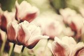 Tulipas violetas, macro brilhantes, primavera — Foto Stock