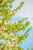 Blossoming tree brunch with white flowers  — Stock Photo