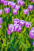Muita luz lilás tulipas na primavera — Fotografia Stock