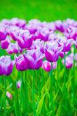Vivid violet tulips, spring — Stock Photo