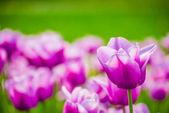 Violet tulips, spring, bright, macro — Stock Photo