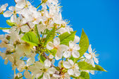 Blossoming apple tree, spring flowers — Stock Photo