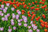 Red and lilac tulips — Stockfoto