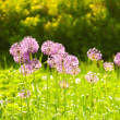 Purple flowers in spring — Stock Photo