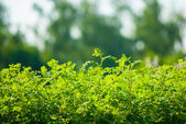 Green bushes in sunlight — Stock Photo