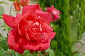 Rouge rose après la pluie — Photo