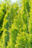 Bright Thuja Peek Closeup — Foto de Stock