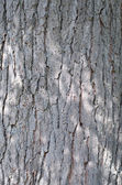 Kentucky Coffeetree Bark — Stock Photo
