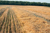 Wheat Stubble Landscape with Forest — Stock Photo