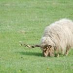 Hungarian Racka Sheep Grazing — Stock Photo #44944183