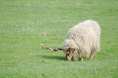 Hungarian Racka Sheep Grazing — Stock Photo