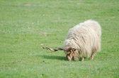 Hungarian Racka Sheep Grazing — Stock Photo