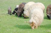 Pecore racka ungherese che porta al pascolo — Foto Stock