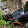 Freshwater turtles. — Stock Photo #31616781