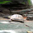 Freshwater turtles. — Foto de Stock