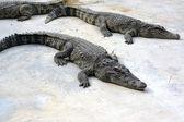 Crocodile in farm — Stock Photo