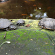 Freshwater turtles. — Stock Photo #32160645