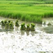 Thai farmer planting on the paddy rice farmland — Foto de Stock