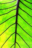 Lotus big leaf green — Stock Photo
