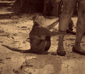 Vintage photo feeding a monkeys — Stock Photo