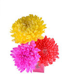 Mix colorful chrysanthemum — Photo