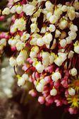 Cherry blossom sakura — Stock Photo