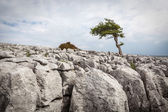 A lone tree on Twisleton Scar in the Yorkshire Dales National Park — Stock Photo