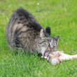 Cat digs bone — Stock Photo