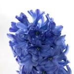 Blue hyacinth — Stock Photo #39207311
