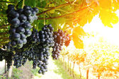 Ripe, lush bunches of grape on the vine — Stock Photo