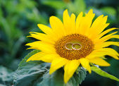 Couple of wedding rings and sunflower — Stock Photo
