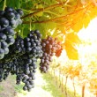 Ripe, lush bunches of grape on the vine — Stock Photo #24359031