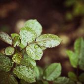 滴を葉ビンテージ背景 — ストック写真