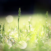 Grass with dew drops in green field in morning — Stock Photo