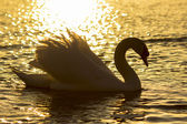 Swan in the sunset — Stock Photo